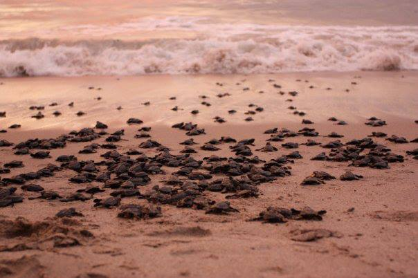 Hundreds of baby sea turtles crawl out of the sand to head towards the sea.