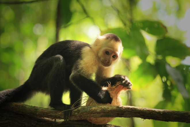 White-faced capuchin monkey